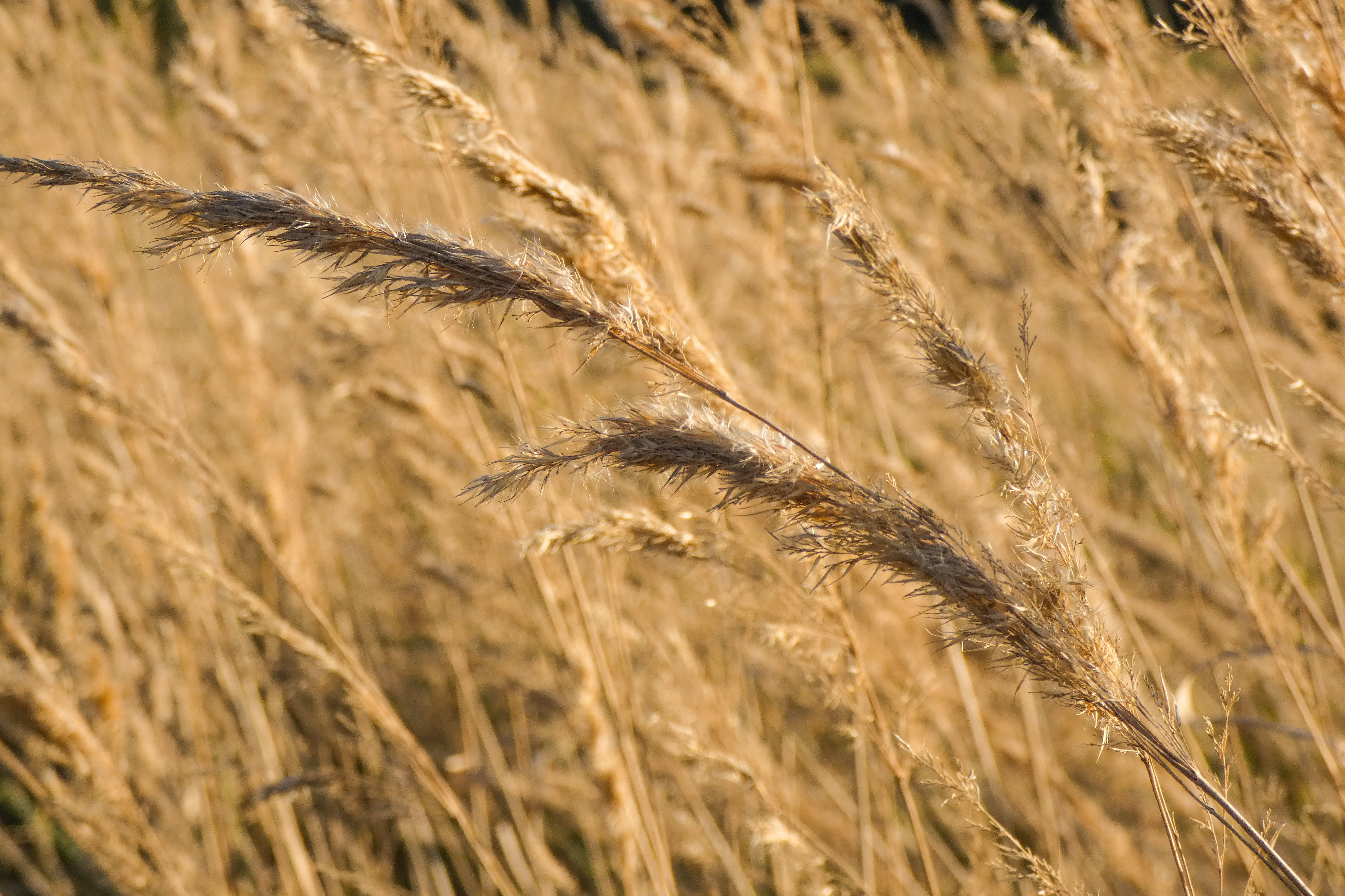 Free stock photo of dry grass