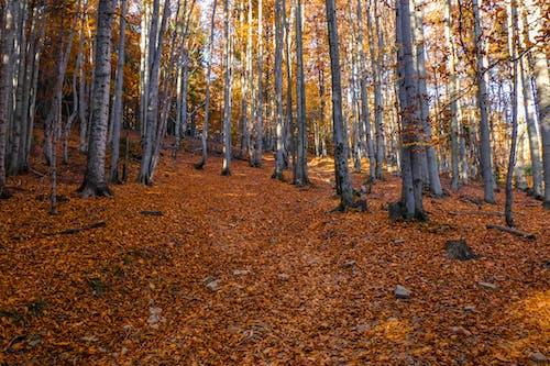 Kostnadsfri bild av skog, torra löv, träd