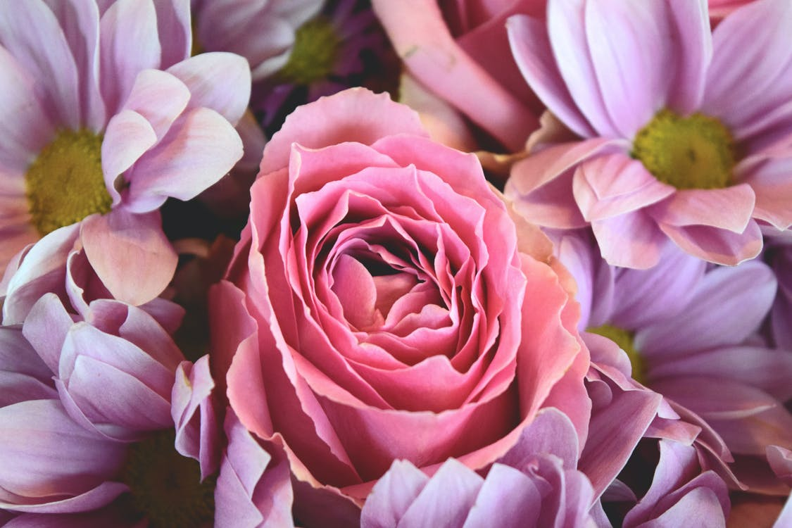 Close-up Photography of Pink Rose and Purple Chrysanthemum Flowers