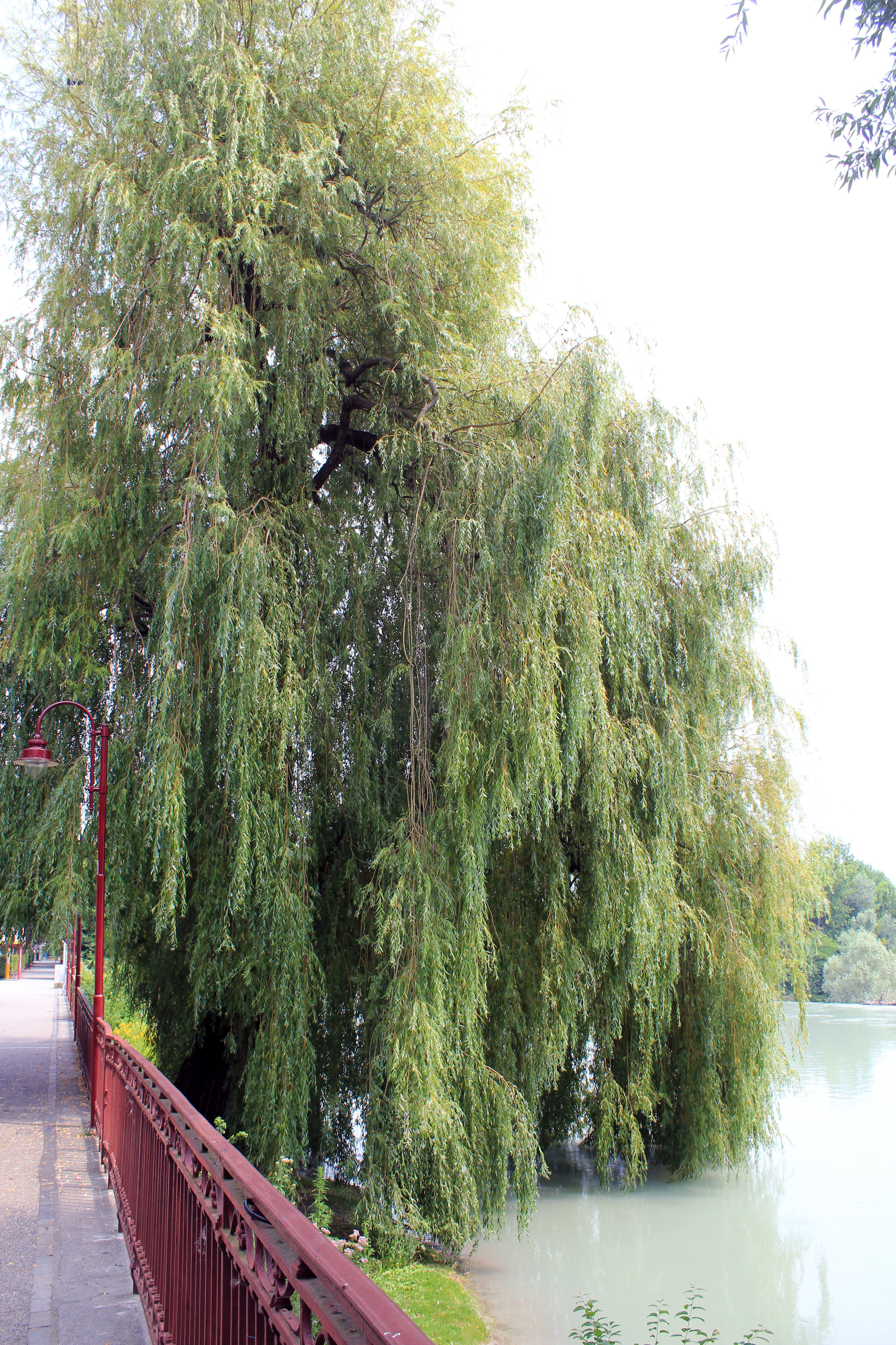 of Salice Piangente, weeping willow, Willow