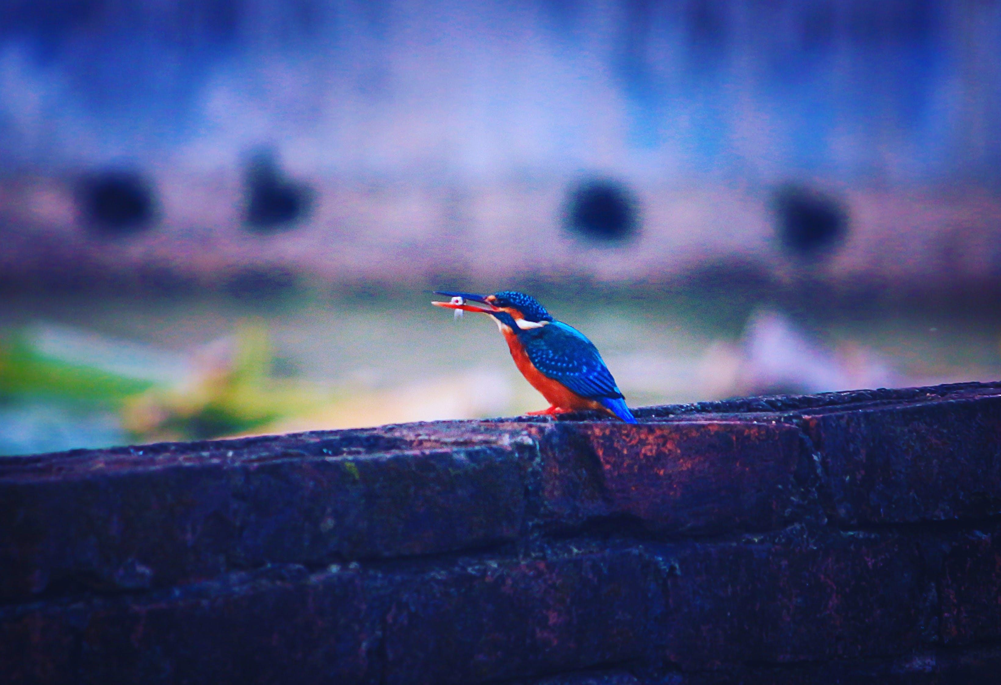 Free stock photo of bird, Fisharanga