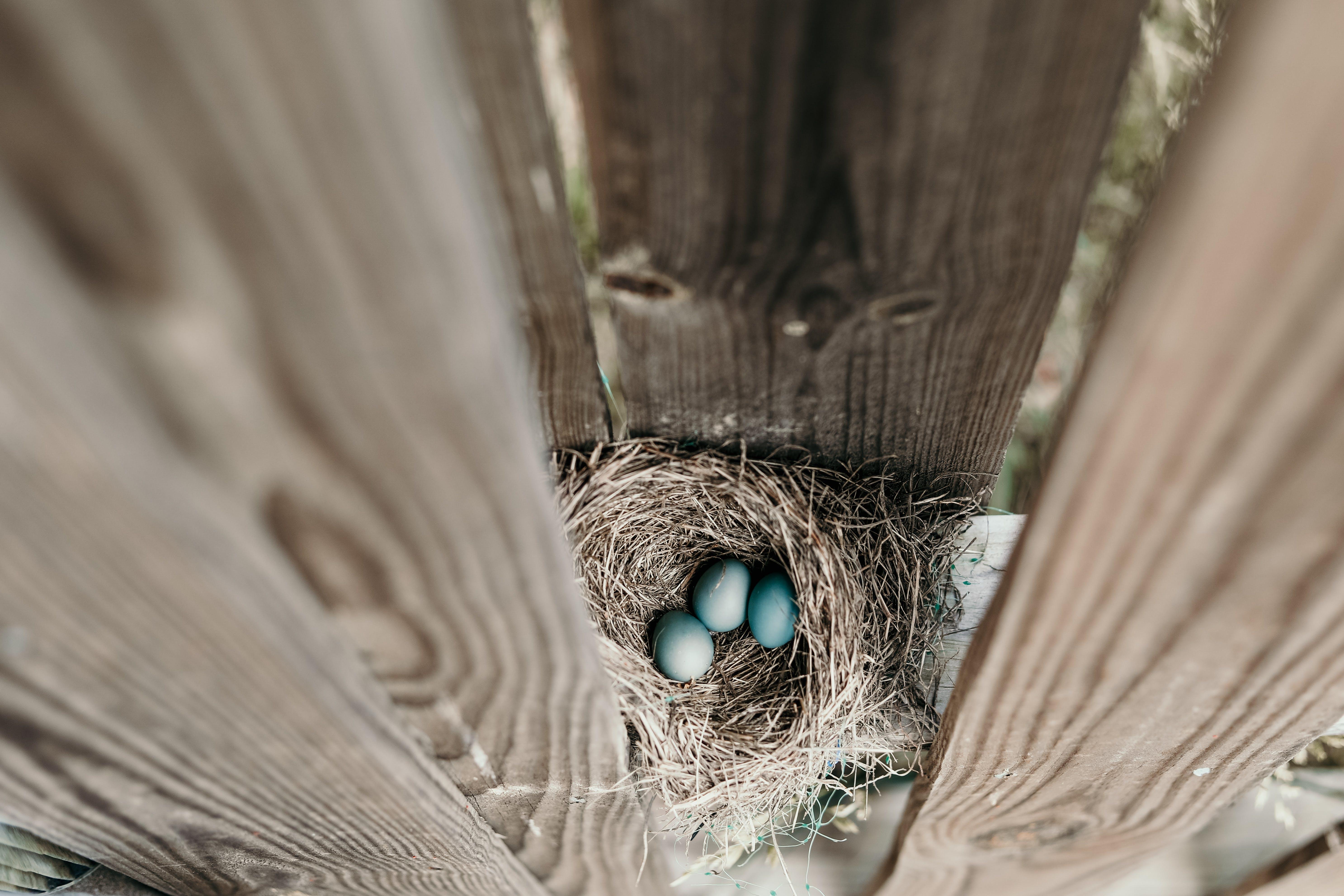 Základová fotografie zdarma na téma hnízdo, ptačí hnízdo, vejce