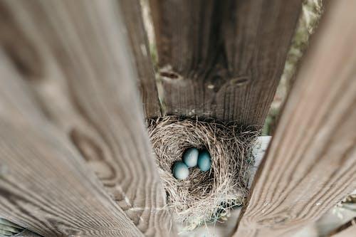 Kostnadsfri bild av ägg, bo, fågelbo