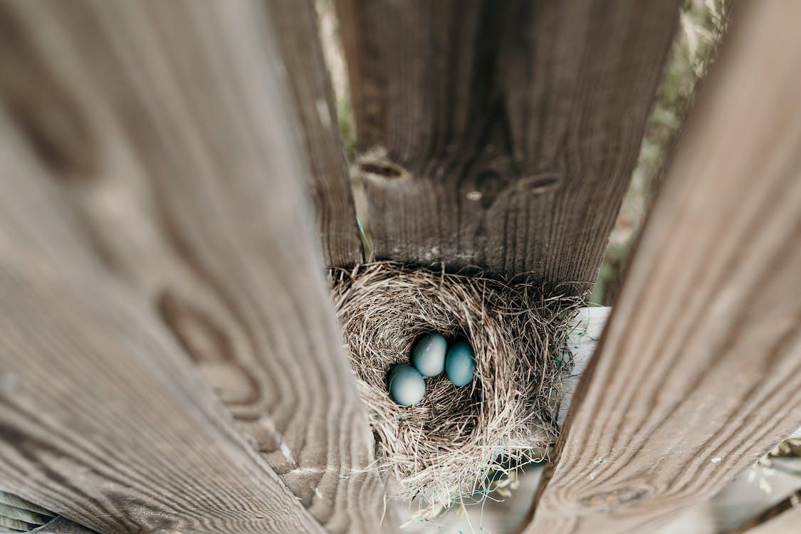 巣の中の3つの青い卵
