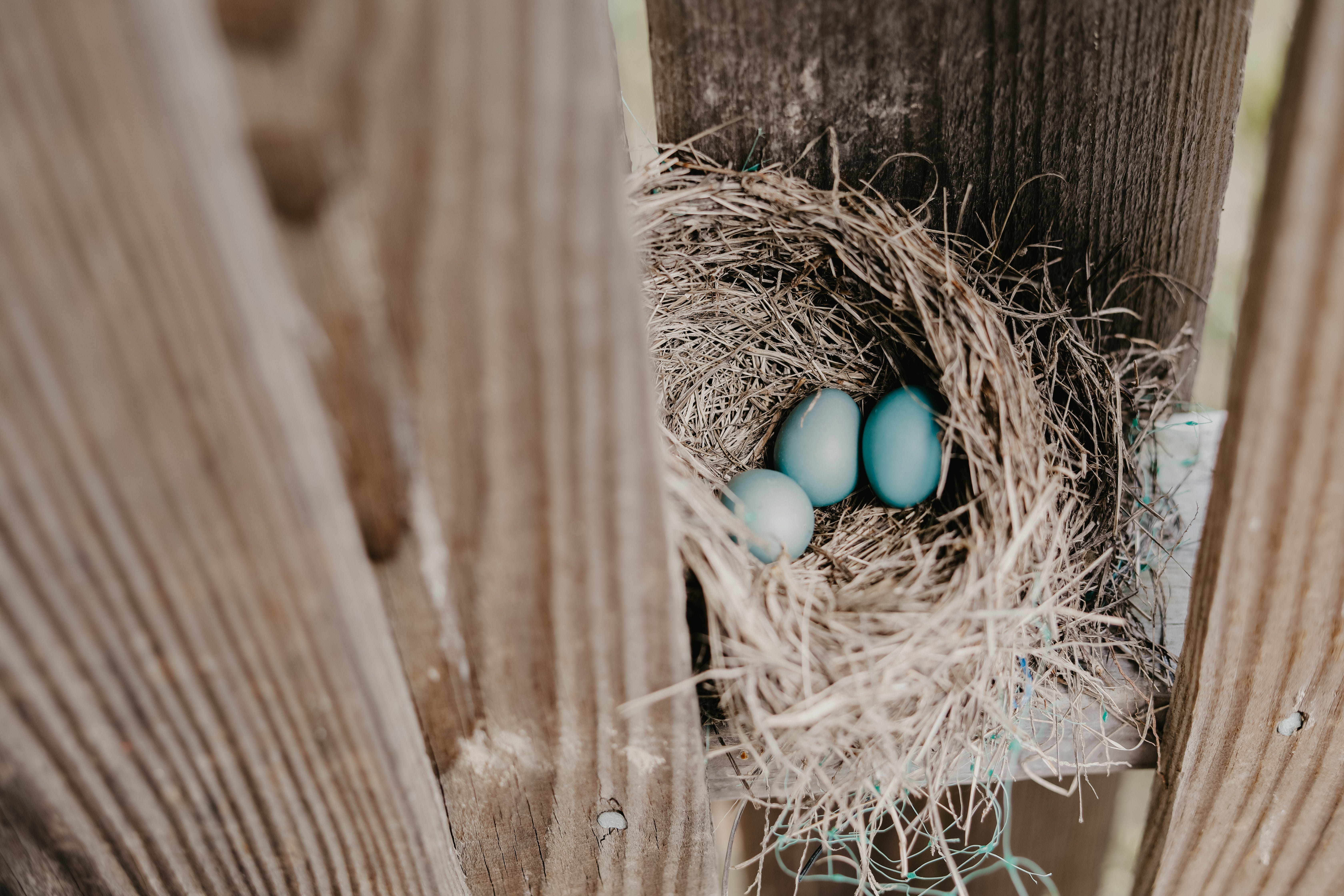 Three Teal Eggs On Nest