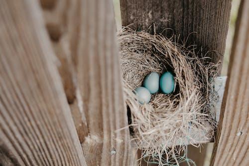 Gratis stockfoto met eieren, nest, Vogelnest