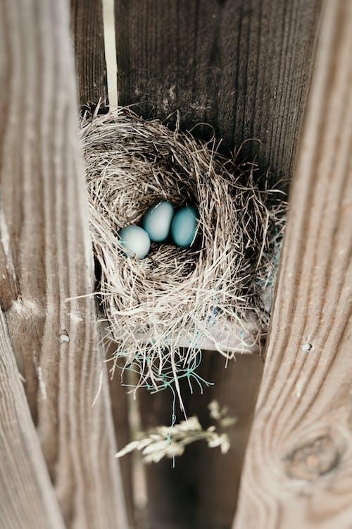 Imagine de stoc gratuită din albastru, bebeluș, cuib de pasăre, gard