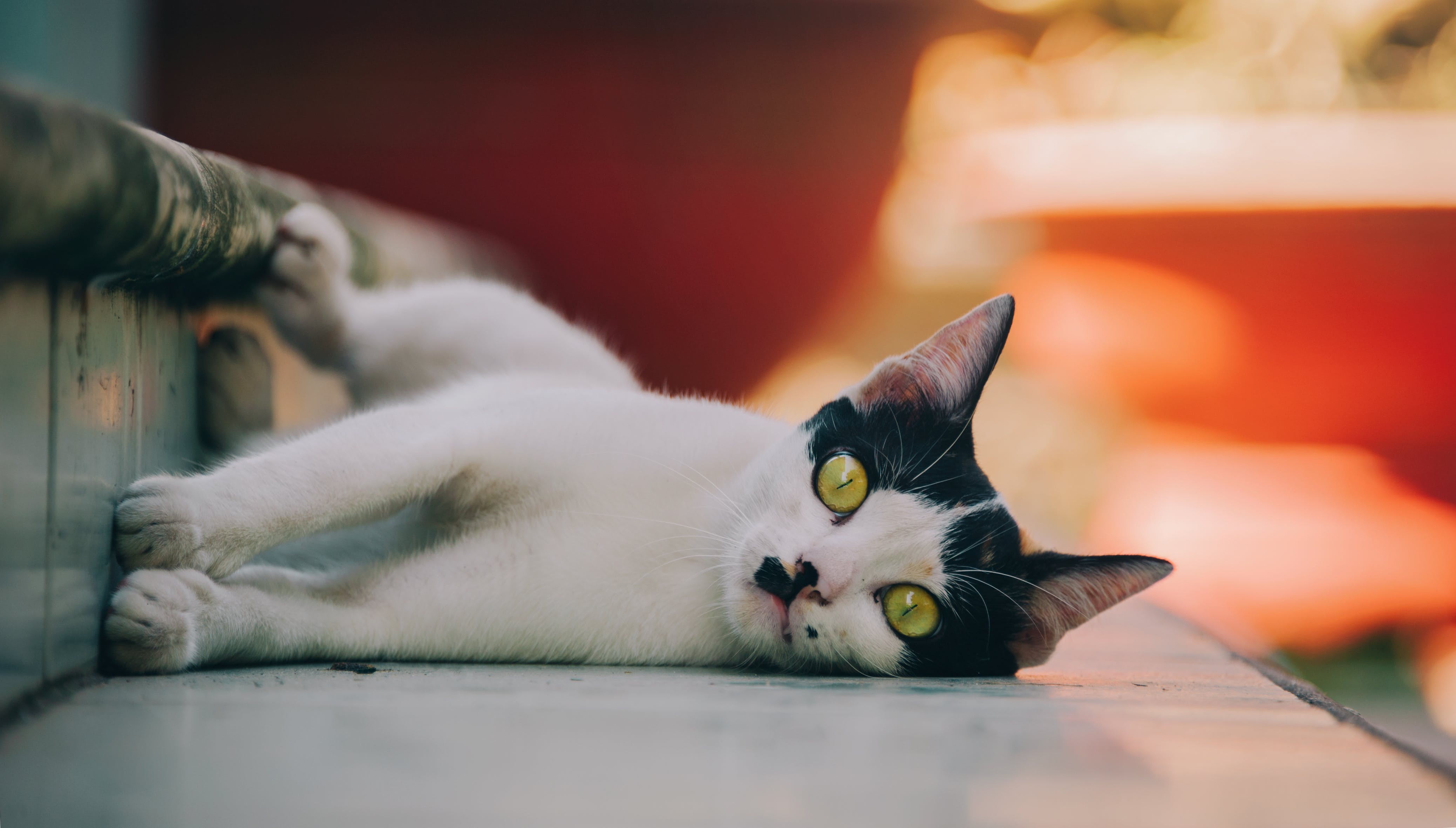 White And Black Cat Lying On Floor