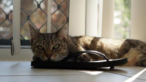 Photos gratuites de animal de compagnie, chat, chaton, chaussure