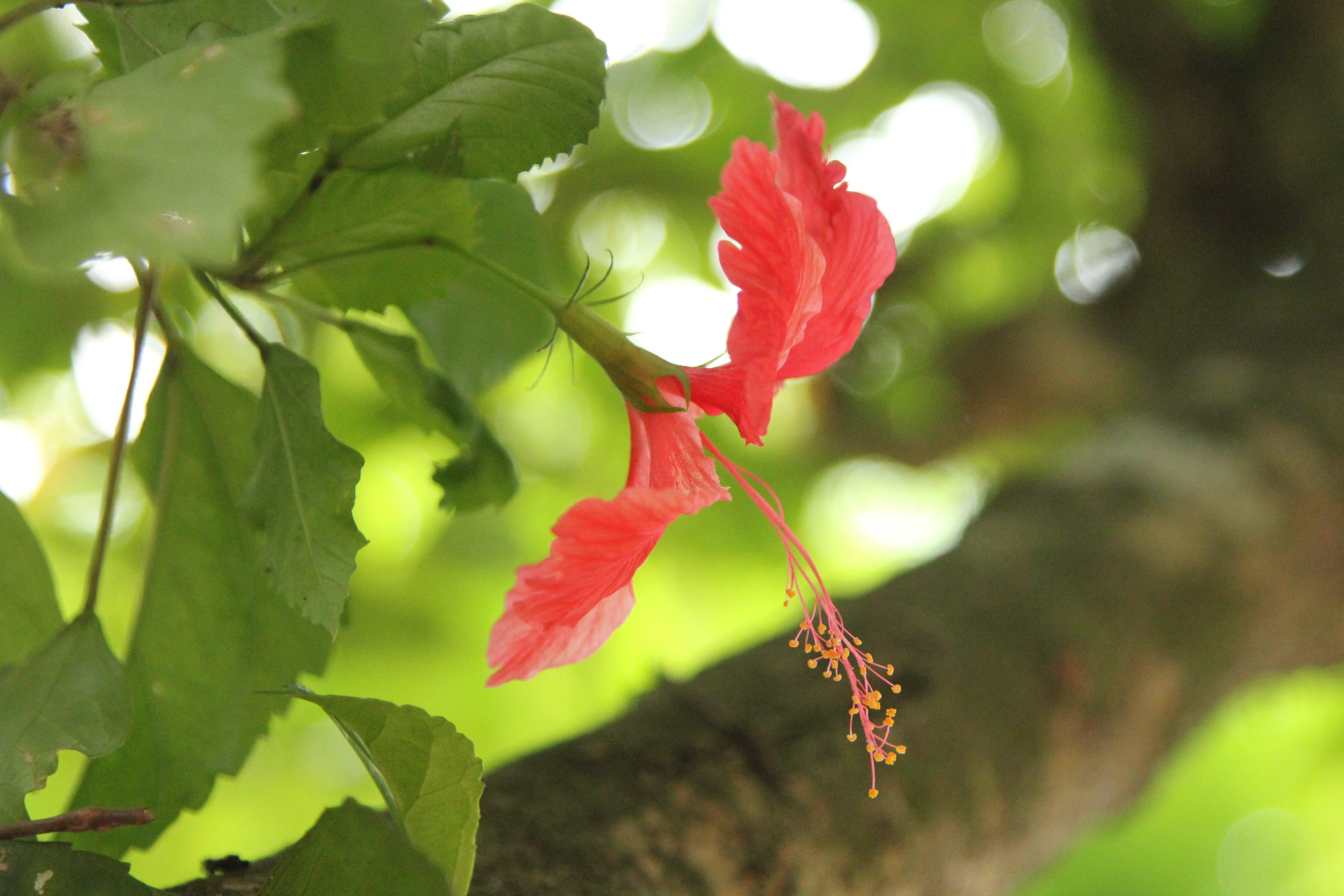 Free stock photo of Hibiscus