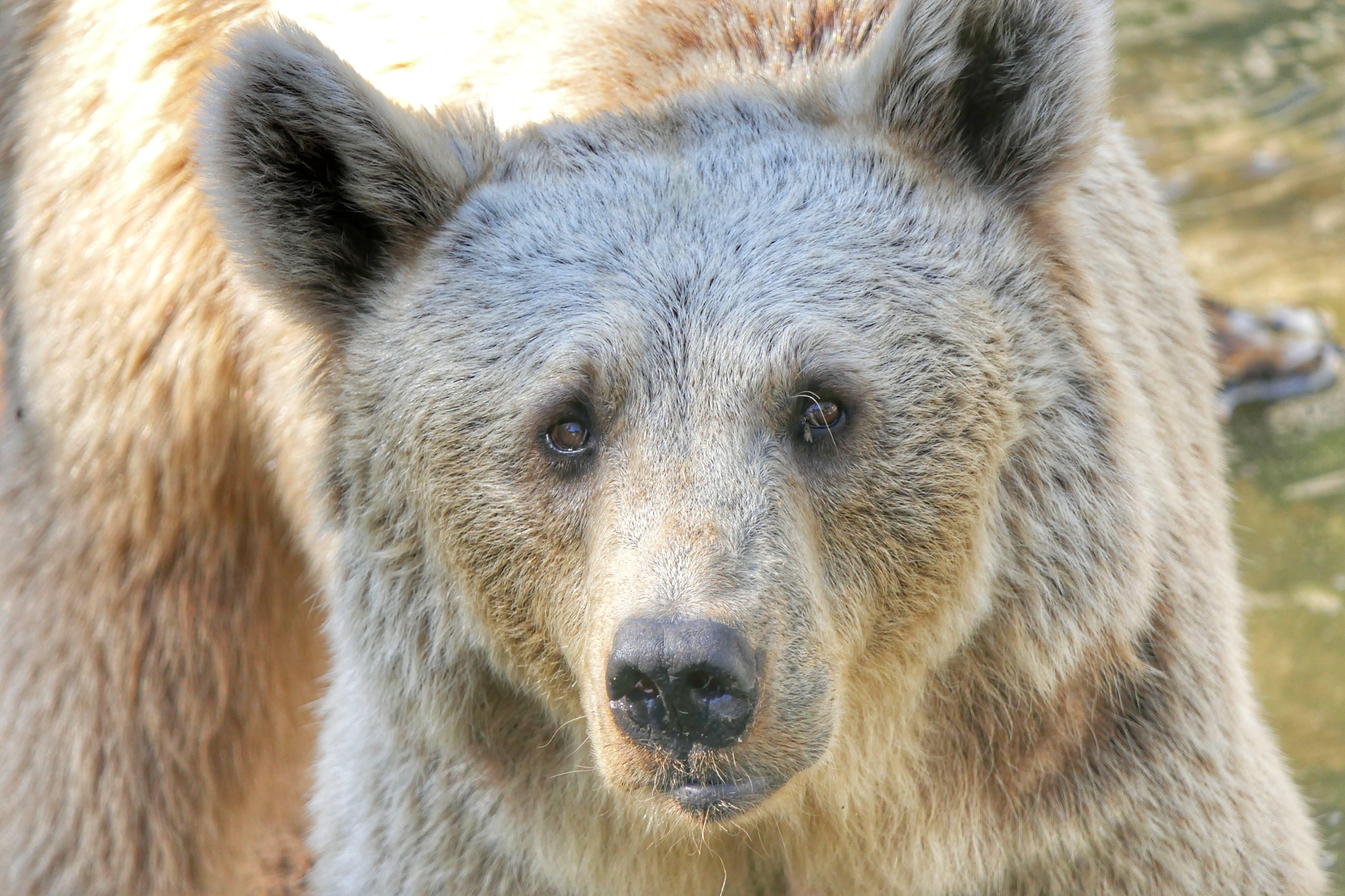 Free stock photo of animal, bear