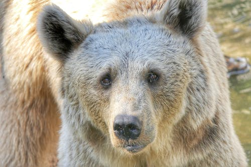 Free stock photo of animal, bear