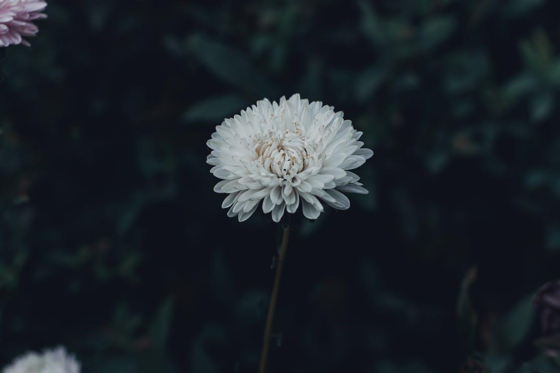 4k tapety, biely kvet, detailný záber