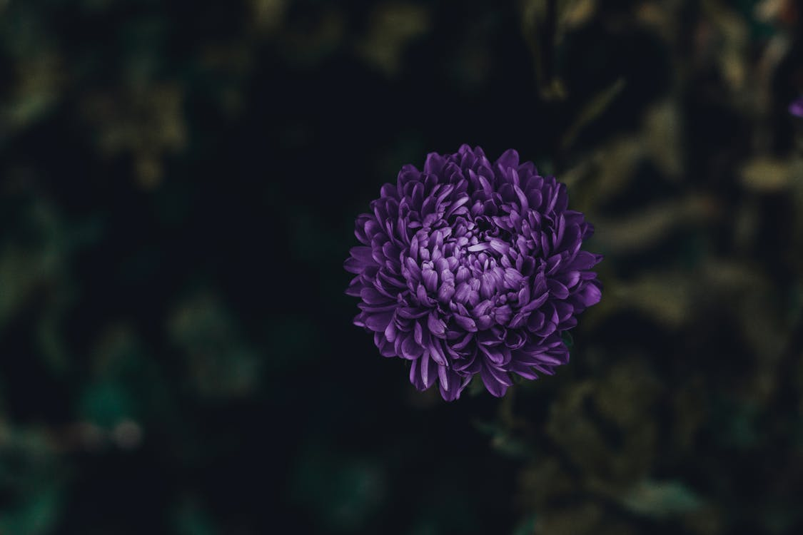Asterit, kasvi, kasvikunta