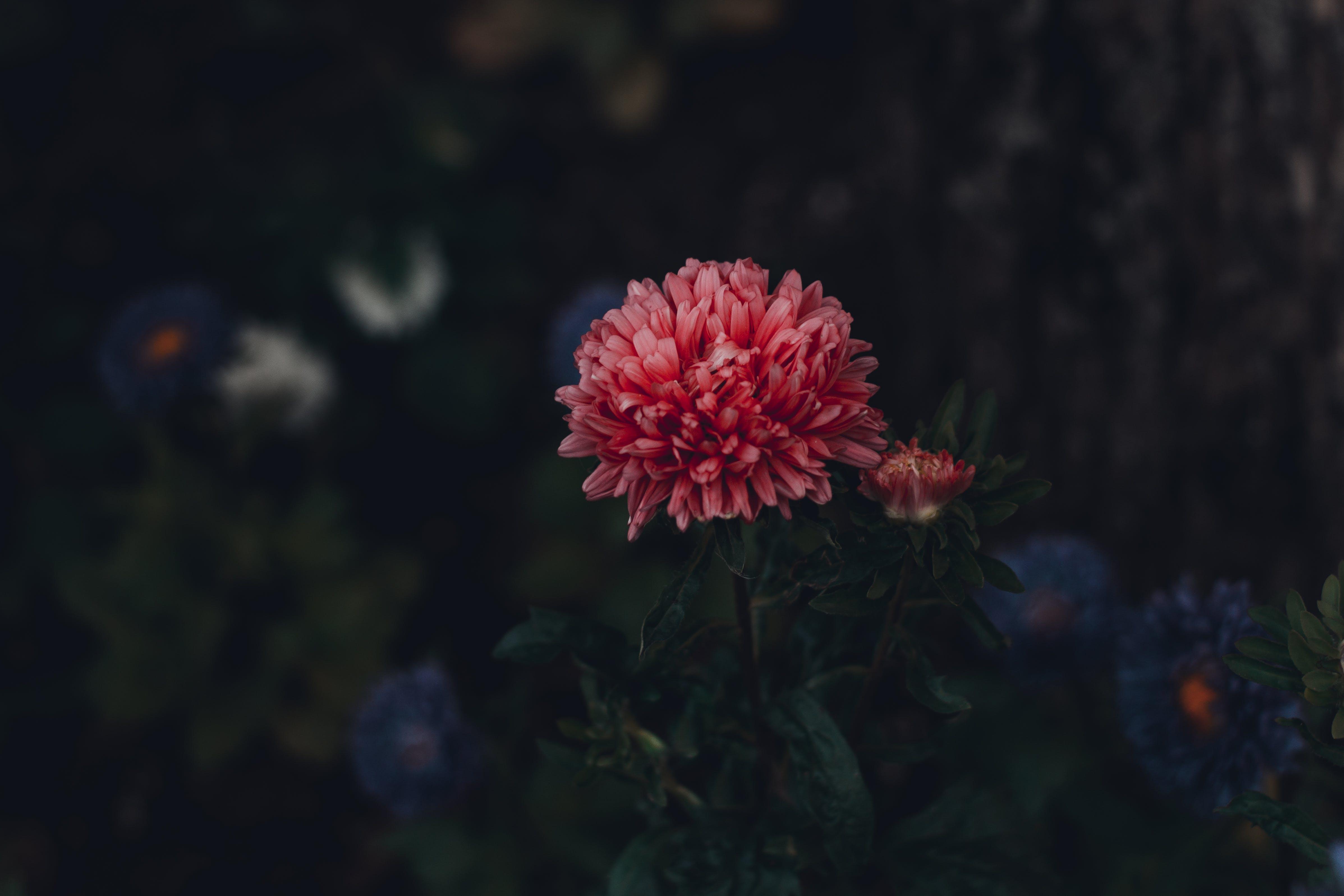 astry, flóra, kvést