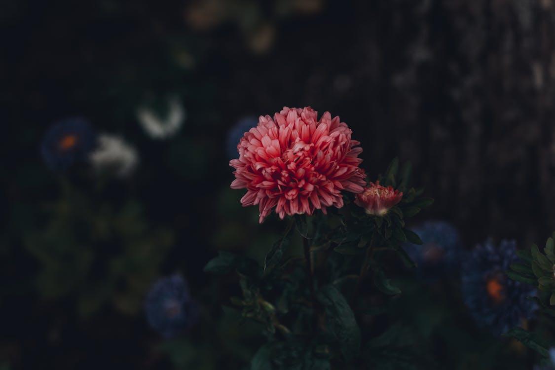 astry, flóra, kvet
