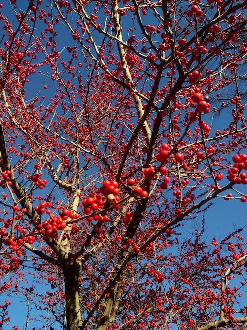 Darmowe zdjęcie z galerii z błękitne niebo, czerwone owoce, kwitnące drzewo, piękno natury