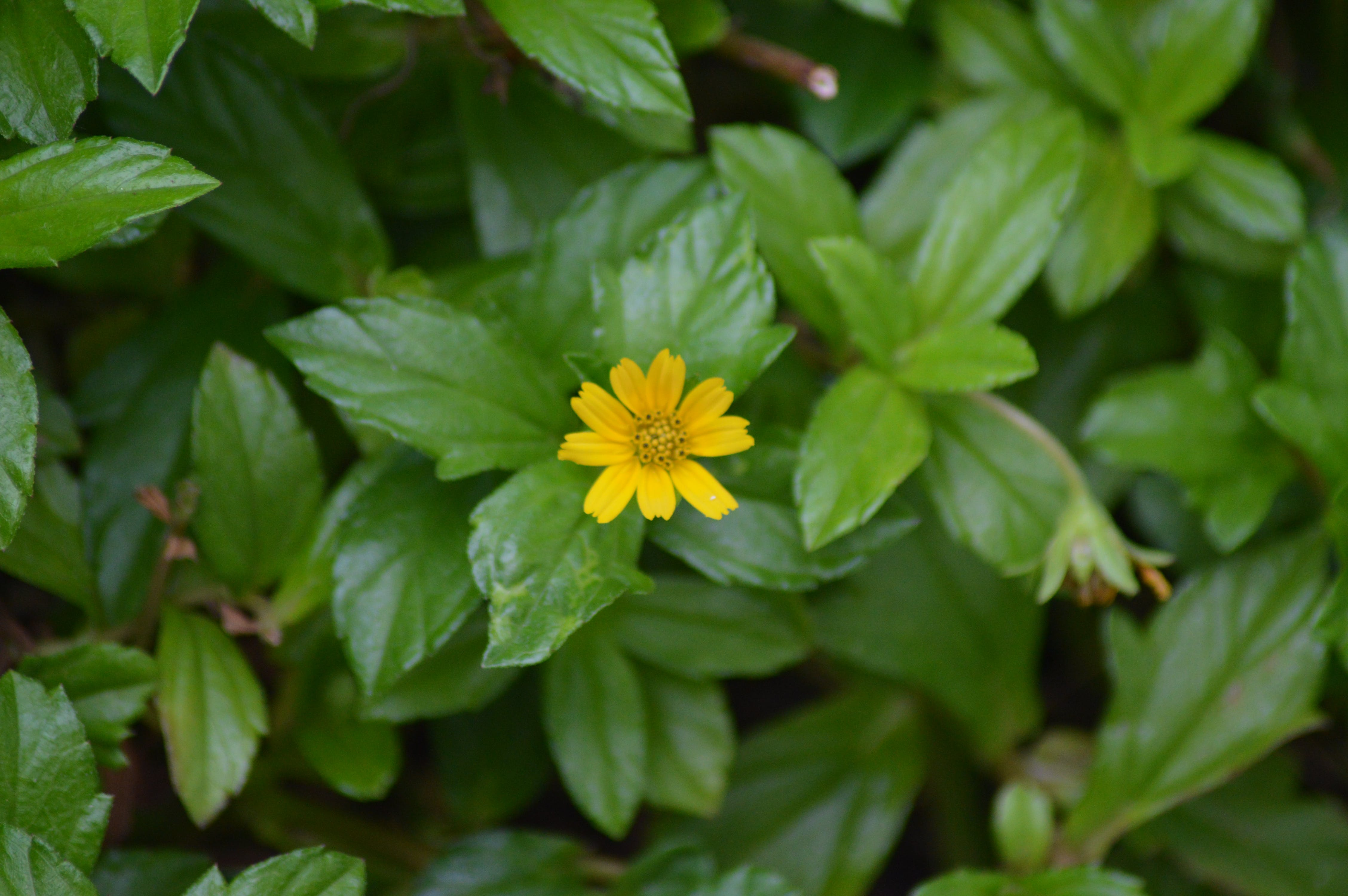 Free stock photo of flower, green background, yellow flower