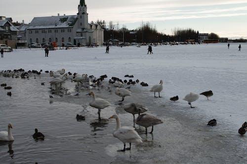 คลังภาพถ่ายฟรี ของ ทะเลสาบน้ำแข็ง, ฤดูหนาว, เป็ด, เรคยาวิก