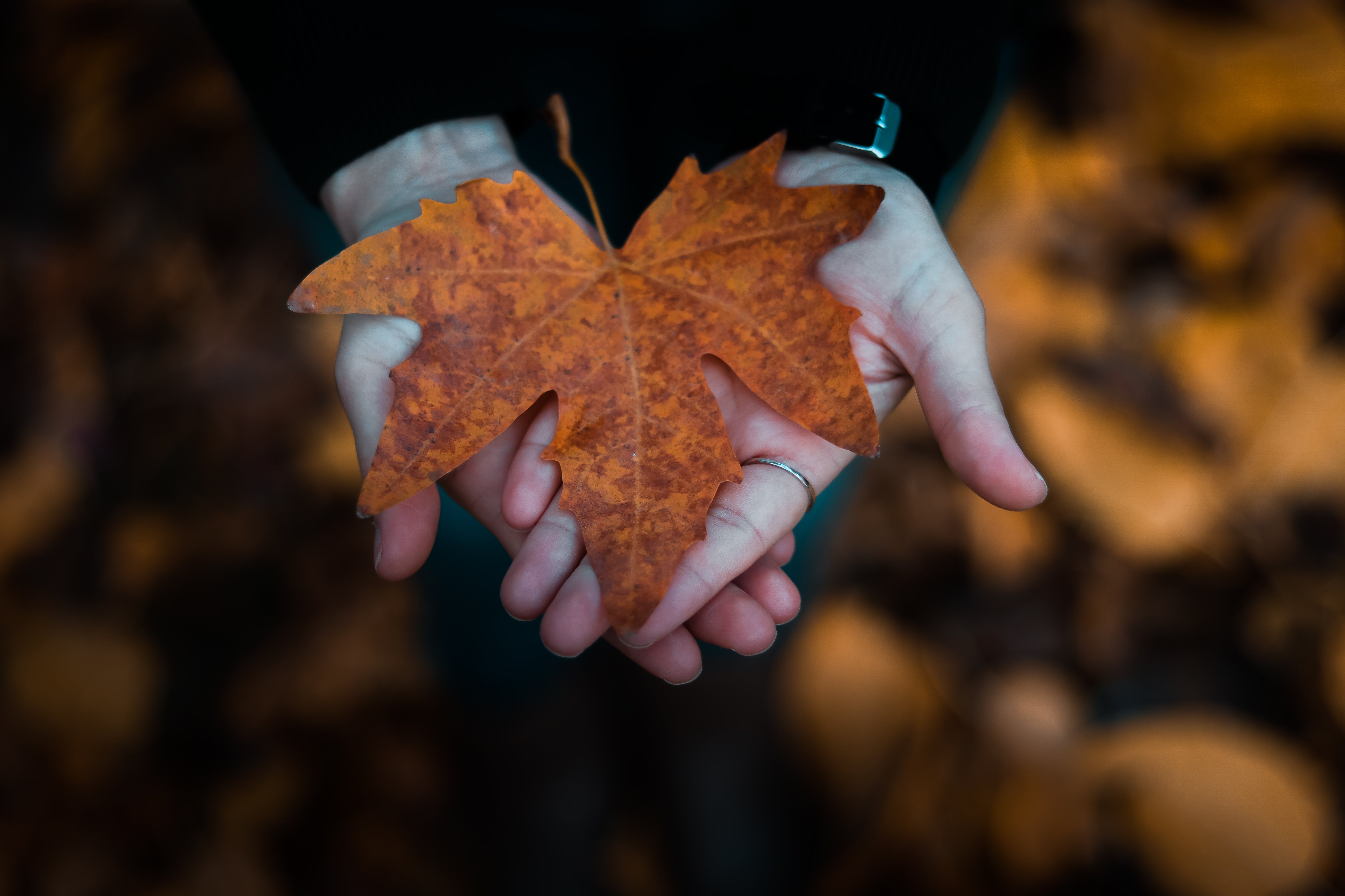Close-Up Photo of Person Holding Maple Leaf