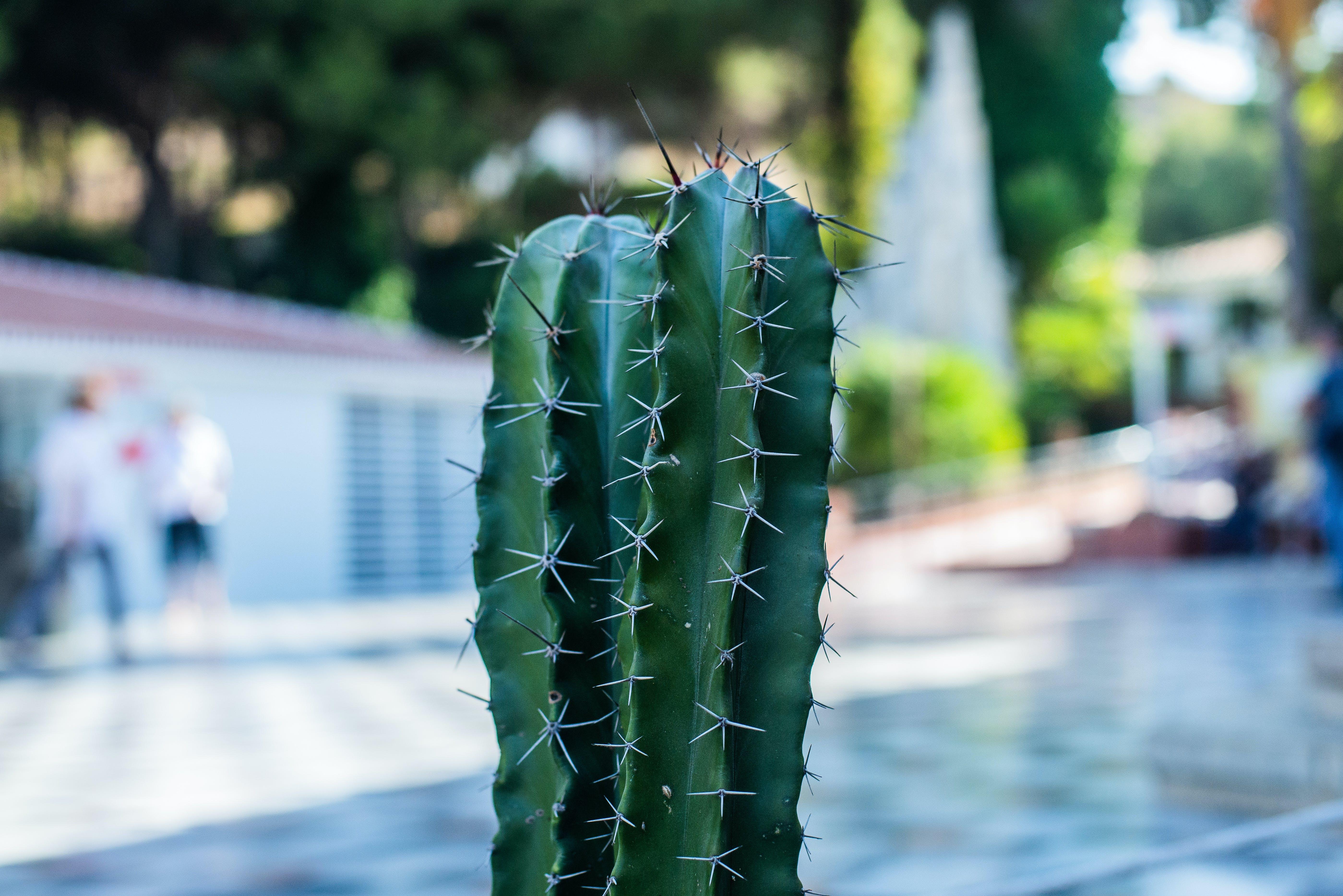 blurred background, cactus, nature