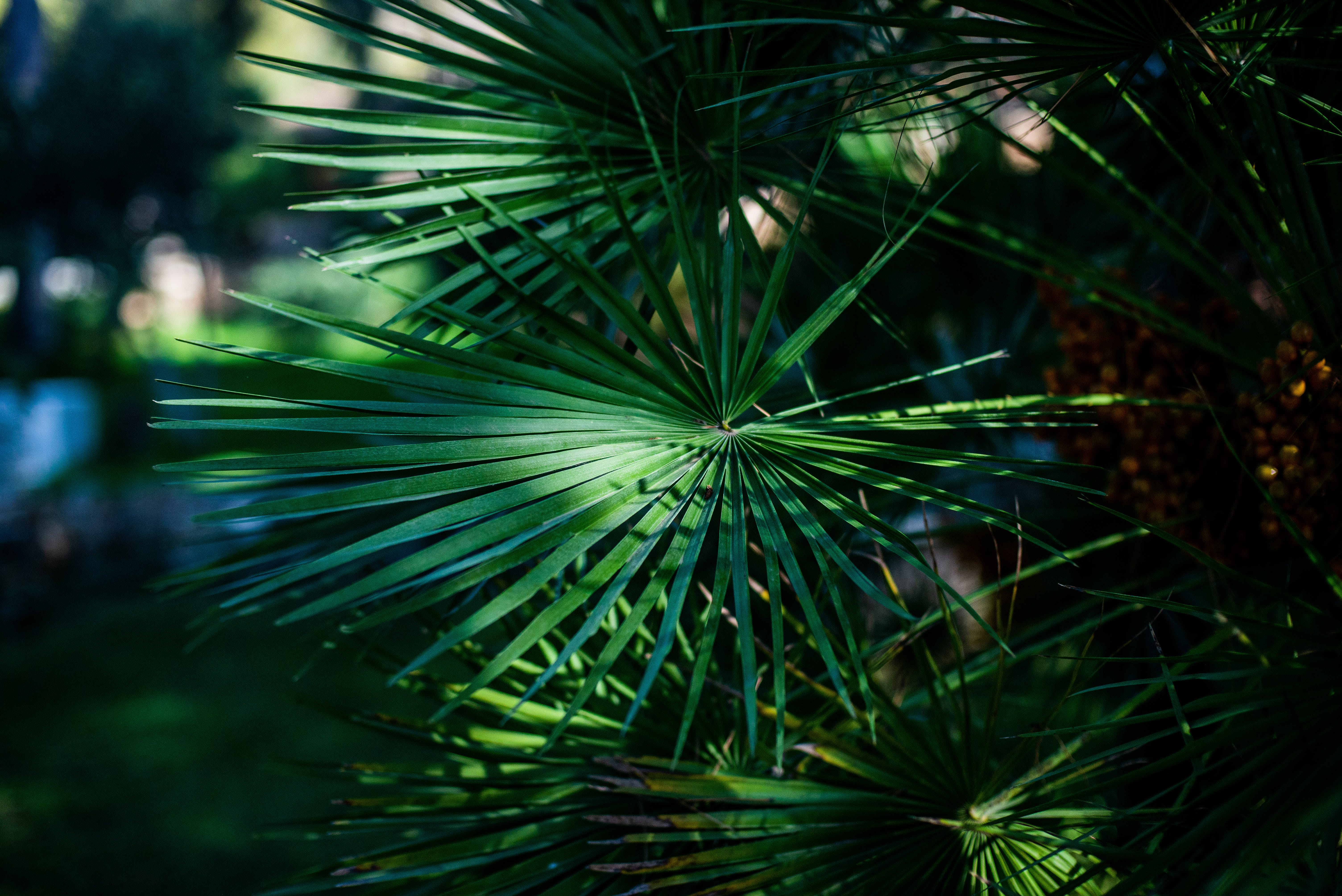 Selective Focus Photography Of Green Fan Palm Leaves