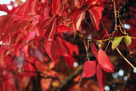 Free stock photo of red, autumn, autumn leaves, autumn colours