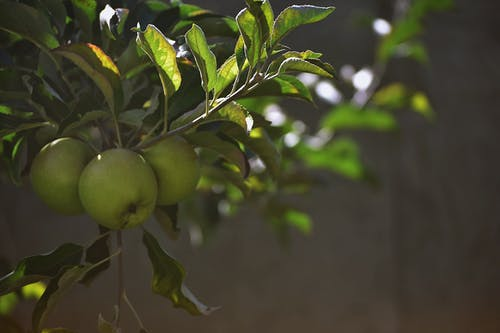 Close-Up Photo of Green Apples On Tree