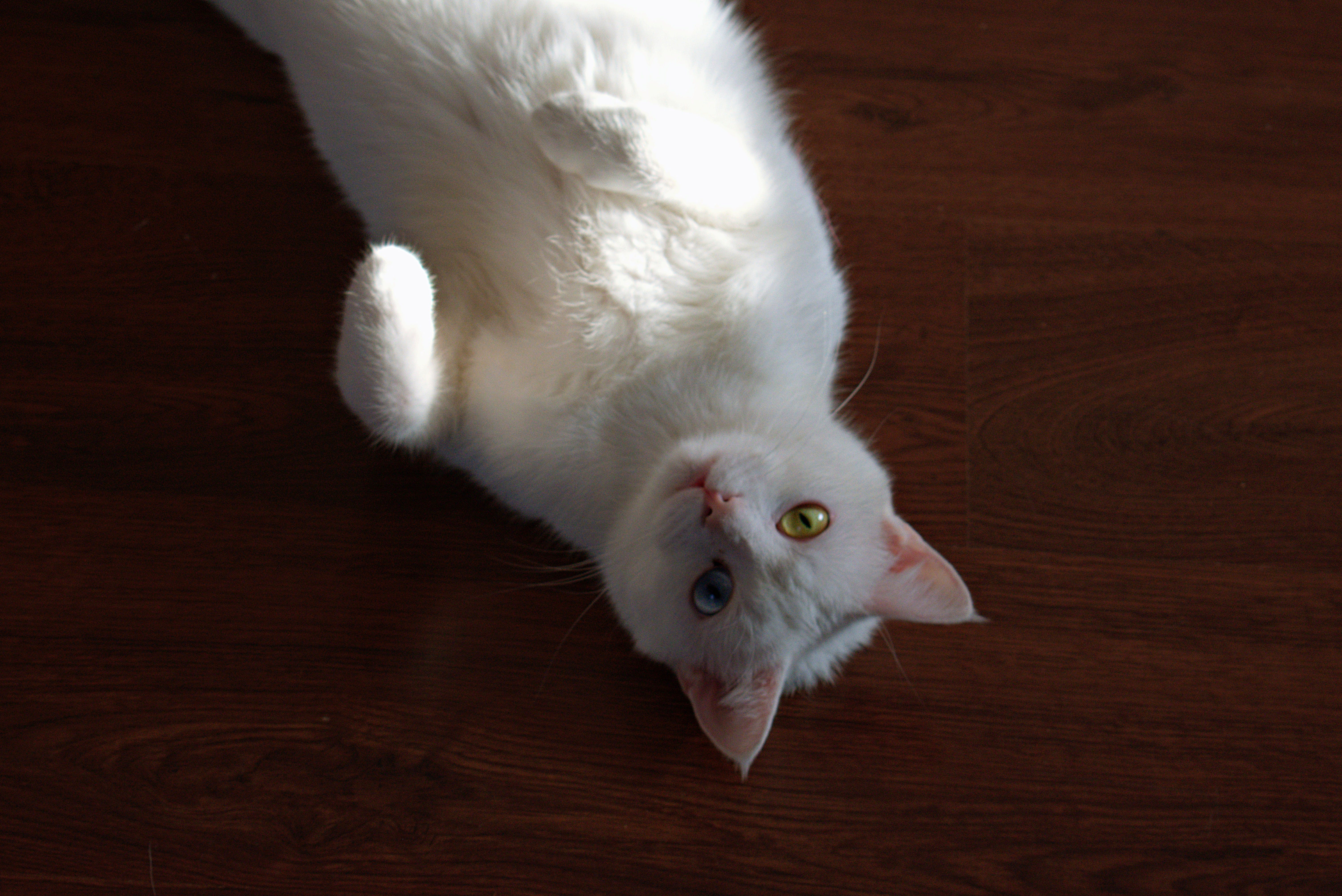 Short-coated White Cat Laying On Brown Wooden Surface