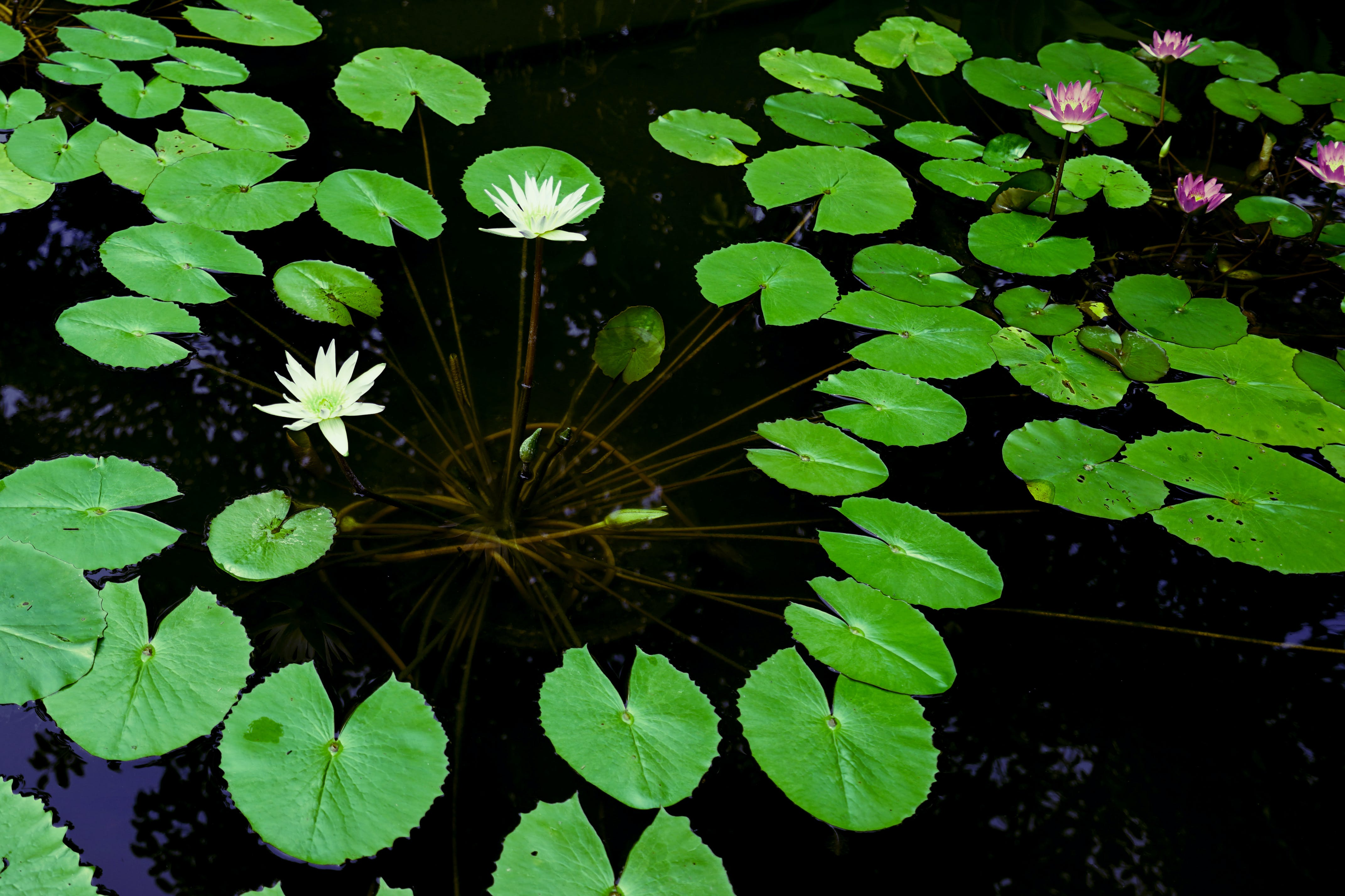 Free stock photo of flowers, lily, nature, pond