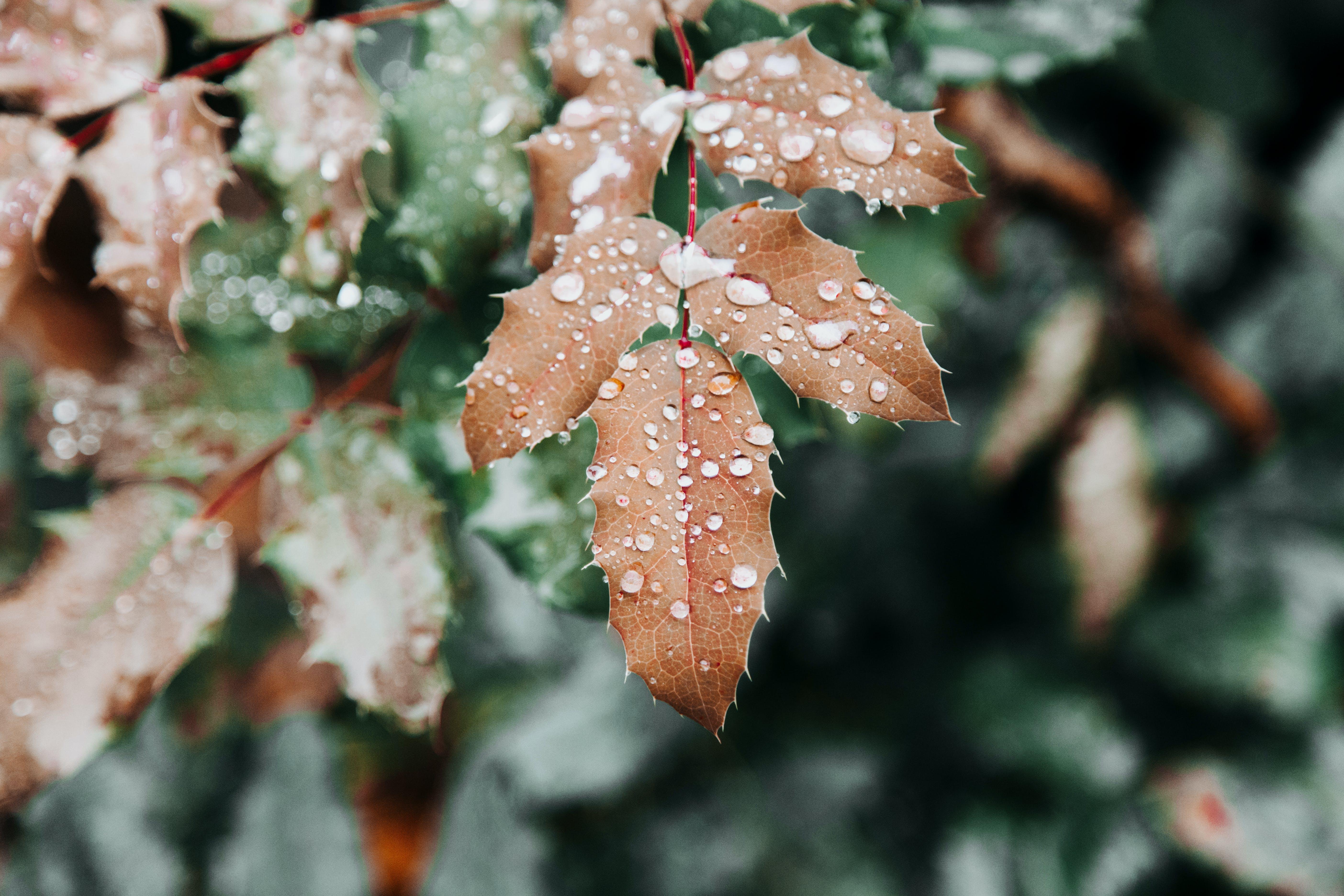 Brown Leafed Plant With Water Dews