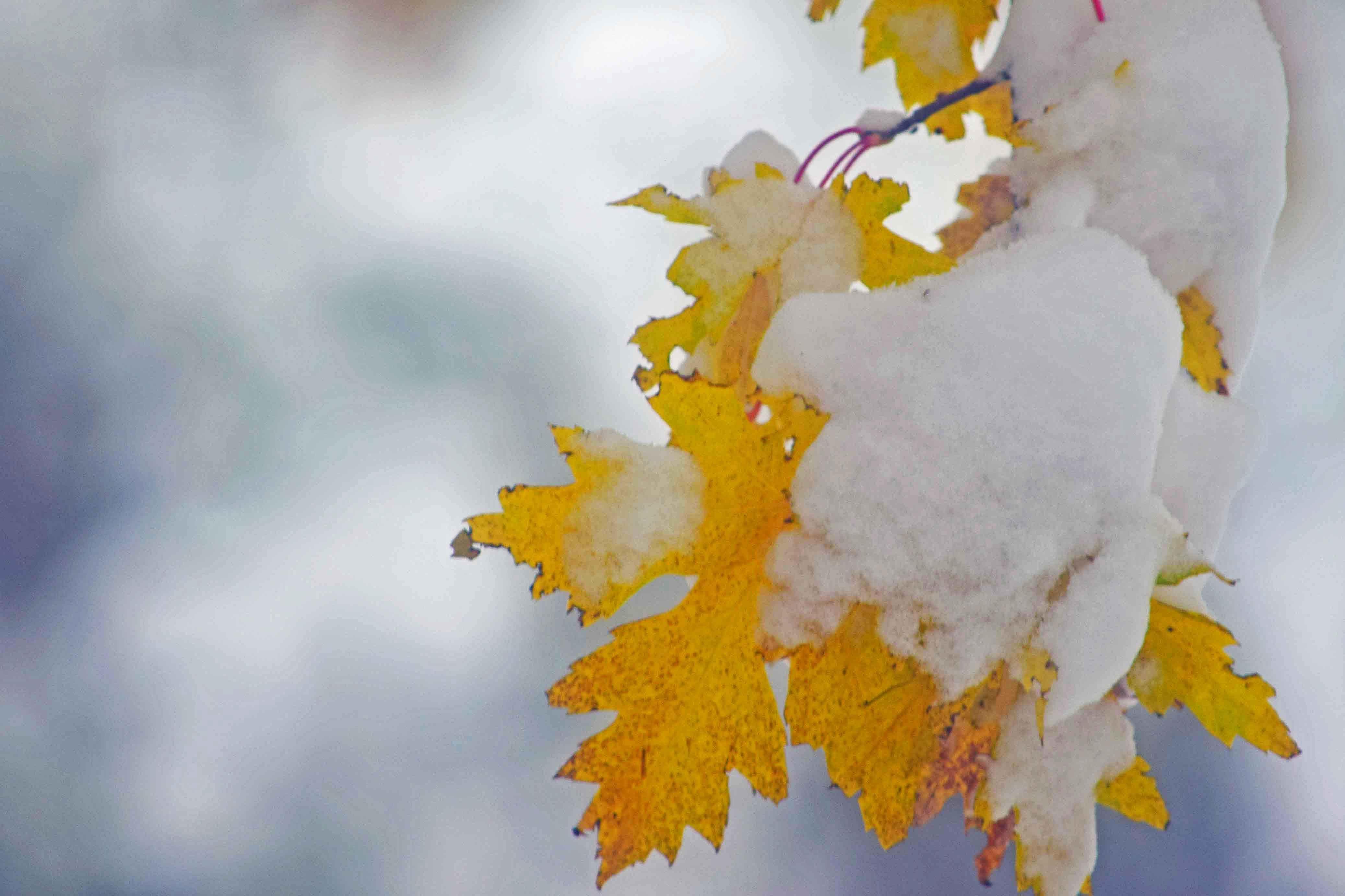 Free stock photo of fall colors, fall foliage, fall leaves, snow