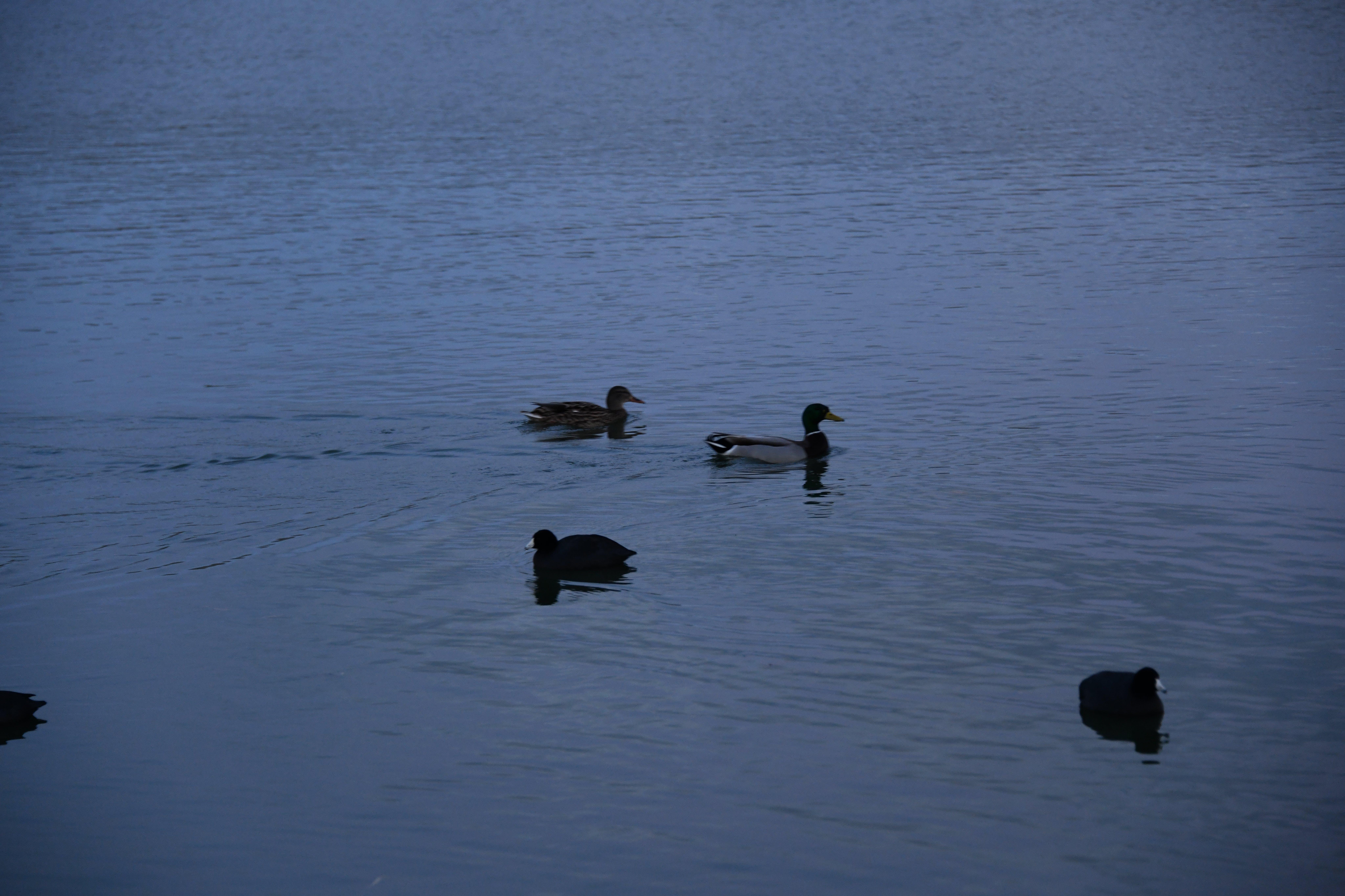 Free stock photo of lake elizabeth ducks