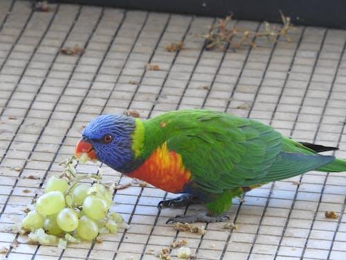彩虹澳洲鸚鵡, 鸚鵡 的 免費圖庫相片