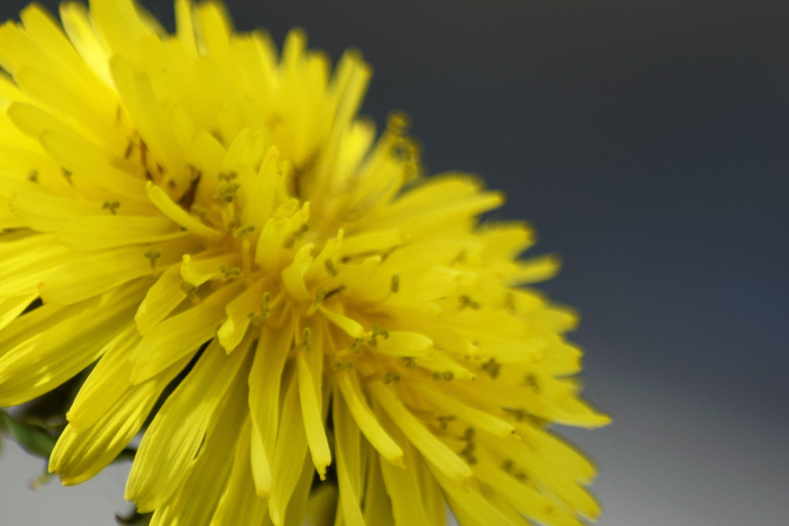Free stock photo of dandelion, yellow