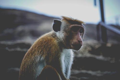 Foto profissional grátis de macaco, macaco sentado