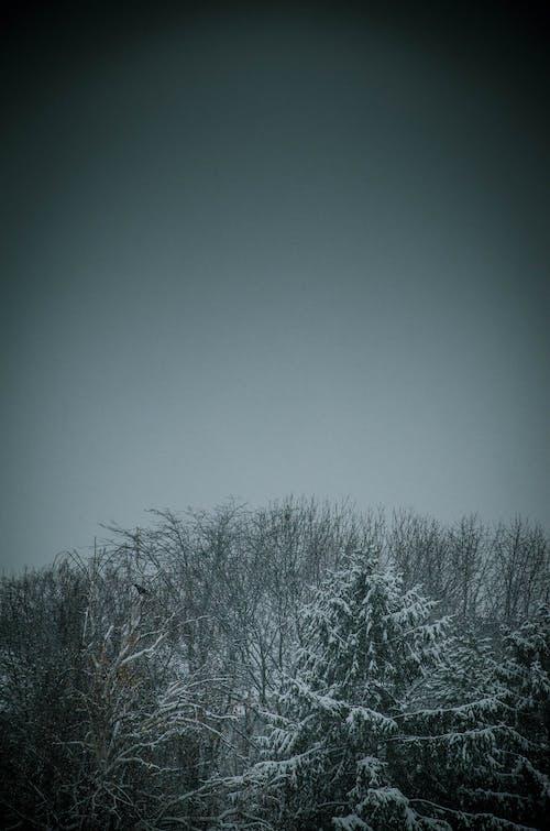 Darmowe zdjęcie z galerii z las, wysokie drzewa, zima