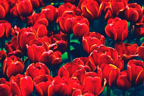 Free stock photo of flower, flowers, nature, tulip