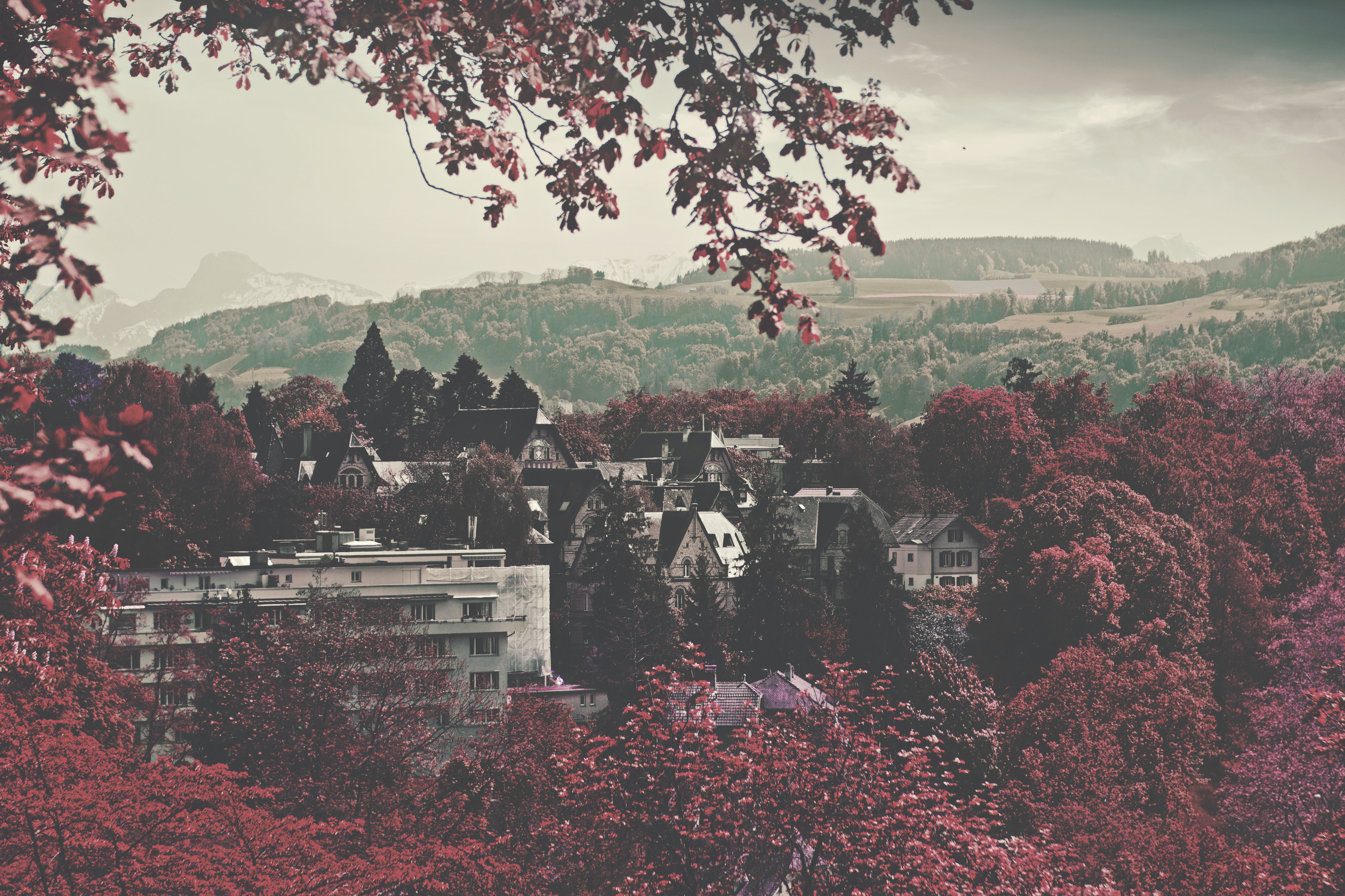 City Buildings Surrounded Maroon Leaved Forest during Daytime