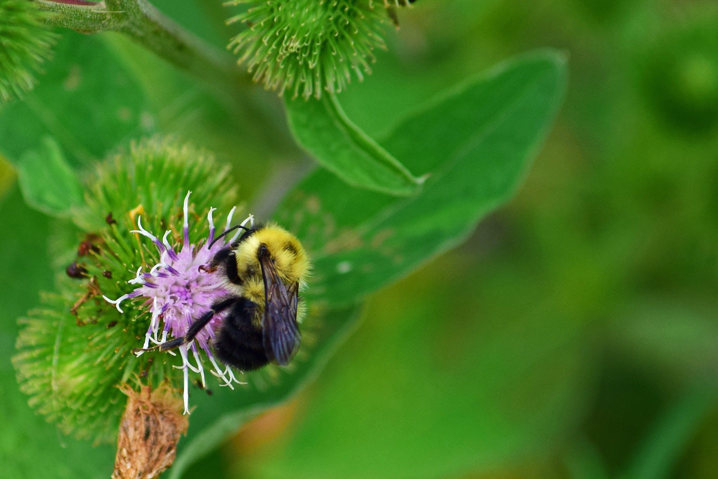 Free stock photo of bee, bumblebee