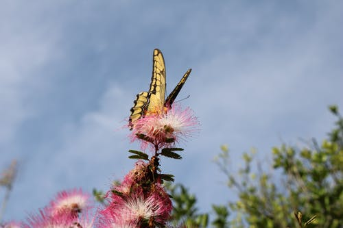 Yellow and Black Eastern Tiger Swallowtail Butterfly Perched on Pink Petaled Flower