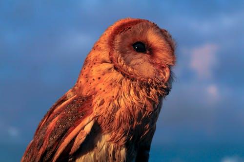 Foto profissional grátis de Ave de rapina, coruja de celeiro, crepúsculo, obscuro