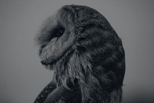 Foto profissional grátis de Ave de rapina, coruja de celeiro, crepúsculo, monocromático