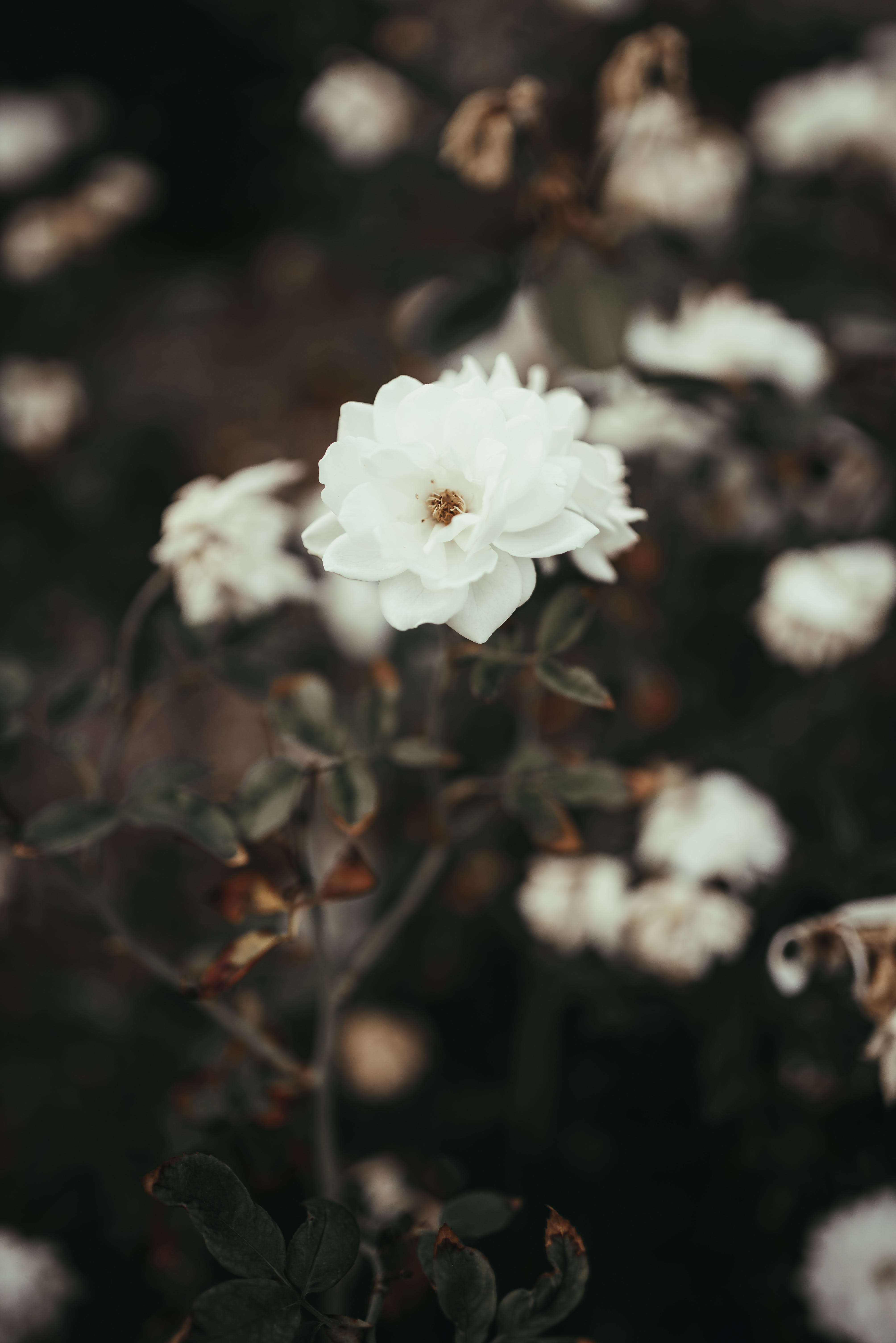Selective Focus Photography of a White Rose
