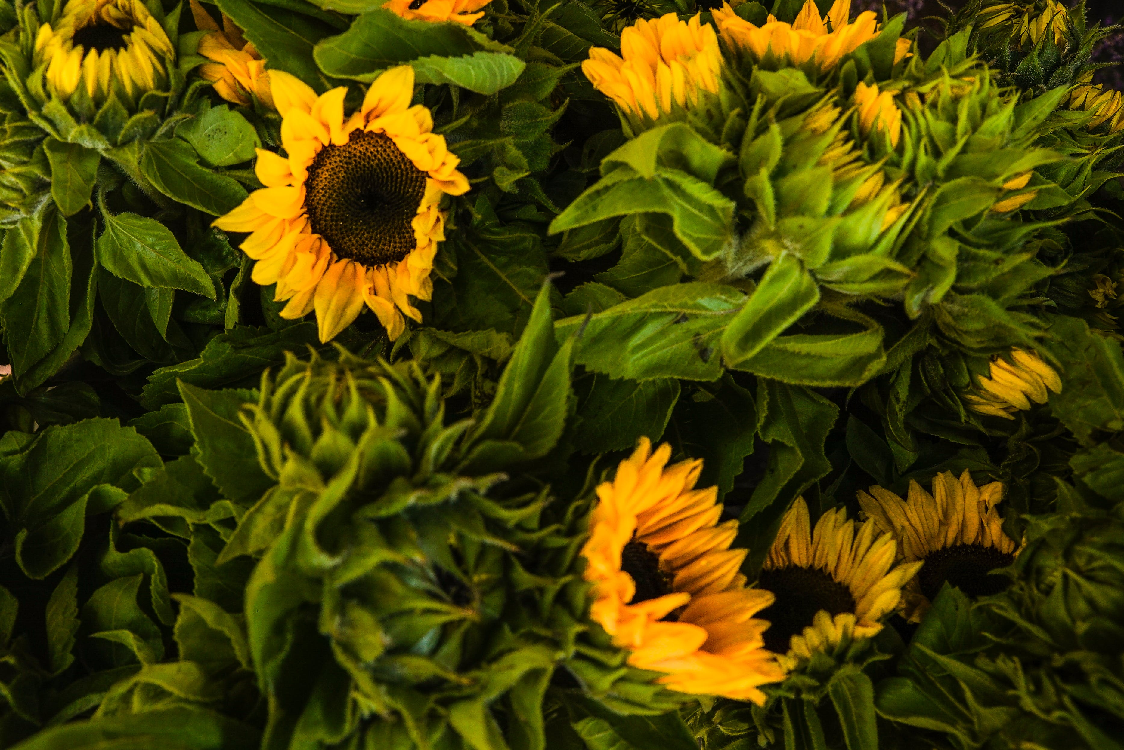 Close-UP Photo of Sunflowers