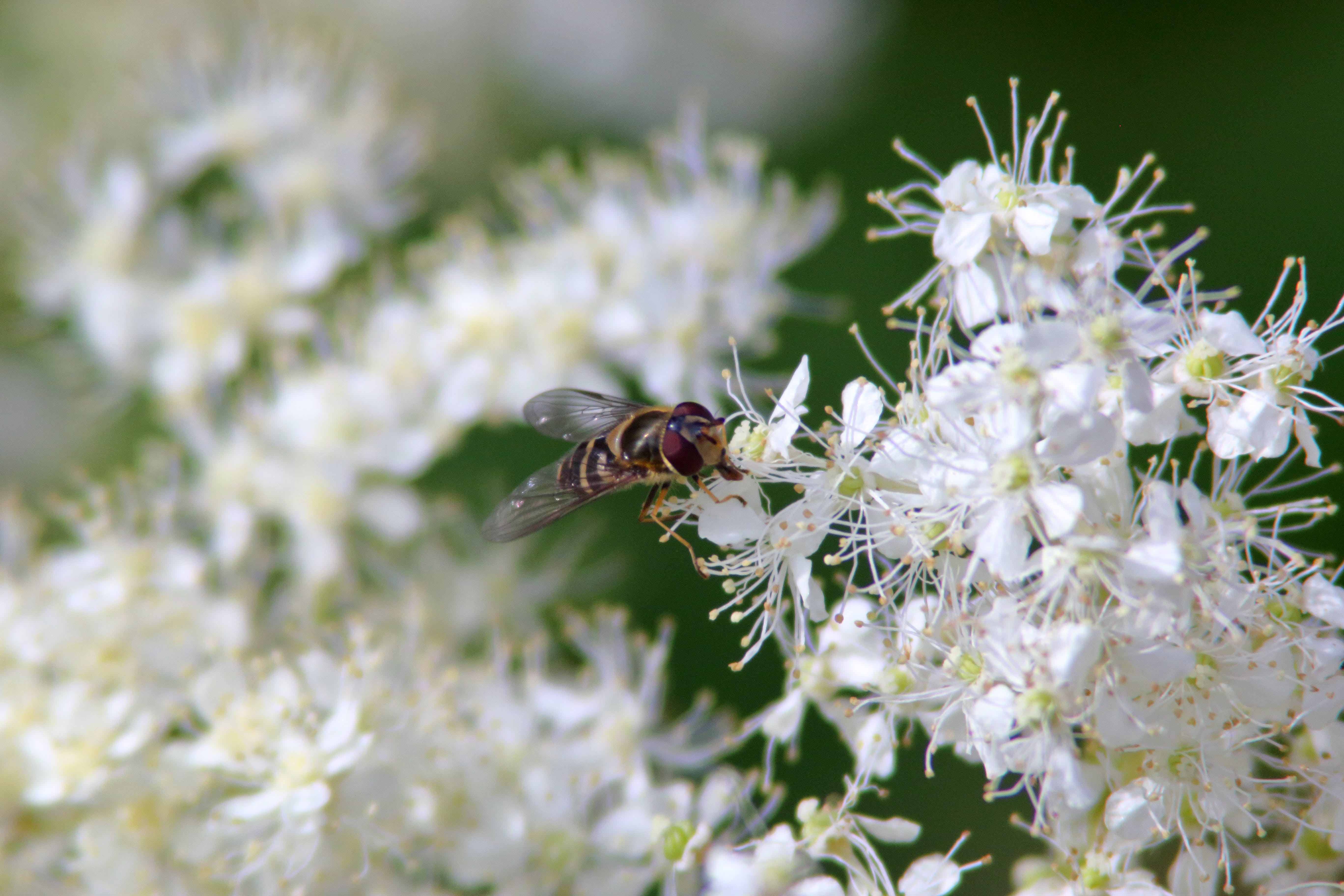 Free stock photo of flowers, hoverfly, white