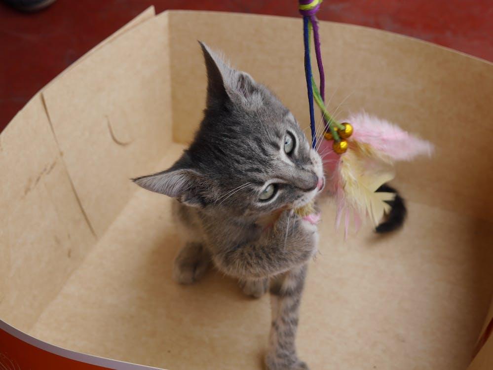 gatito, kissanpentu