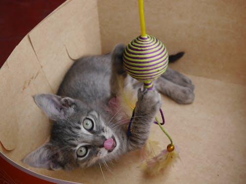 Kostnadsfri bild av gatito, kattunge
