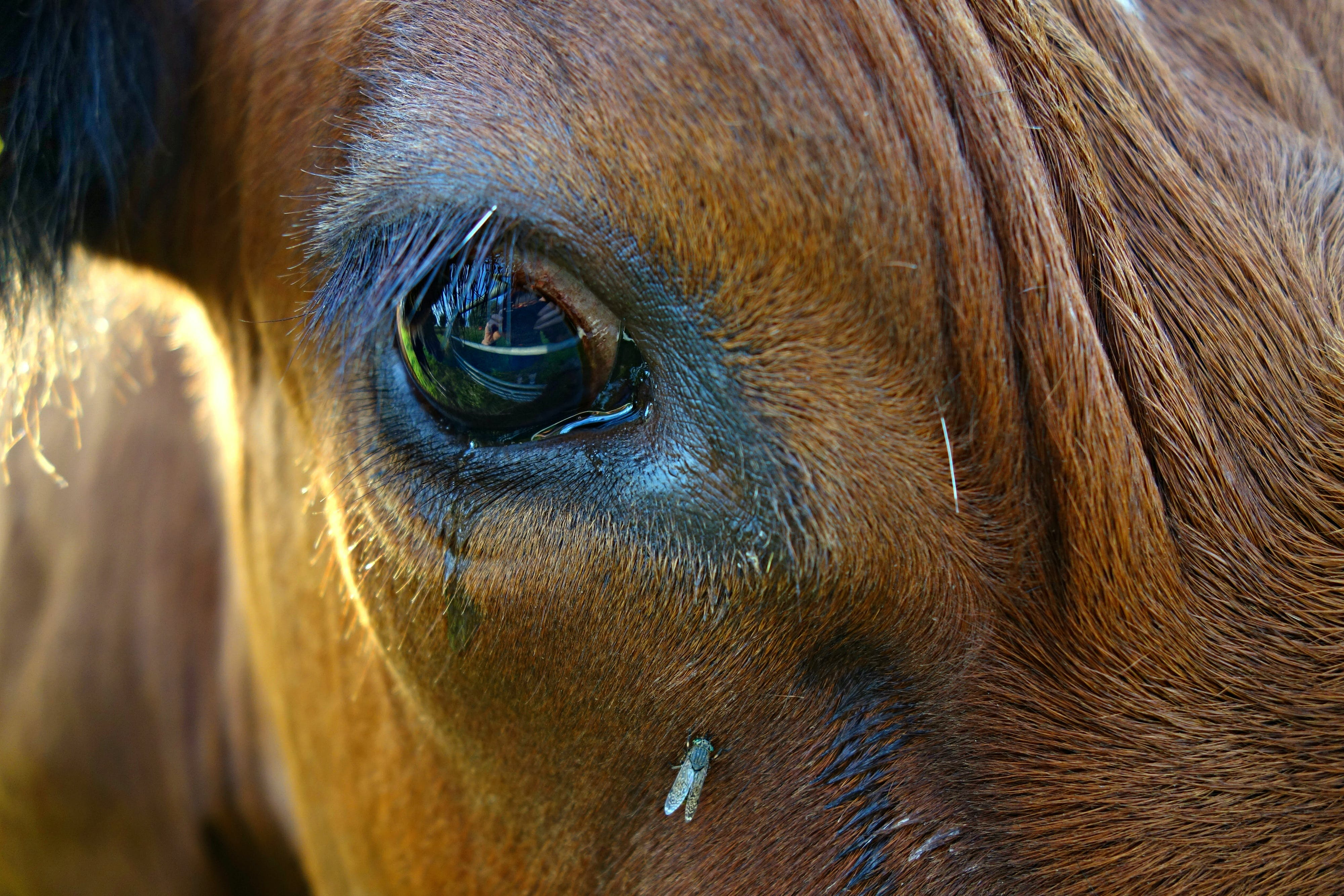 Free stock photo of animal, close up of cow's eye, cow, cow eye