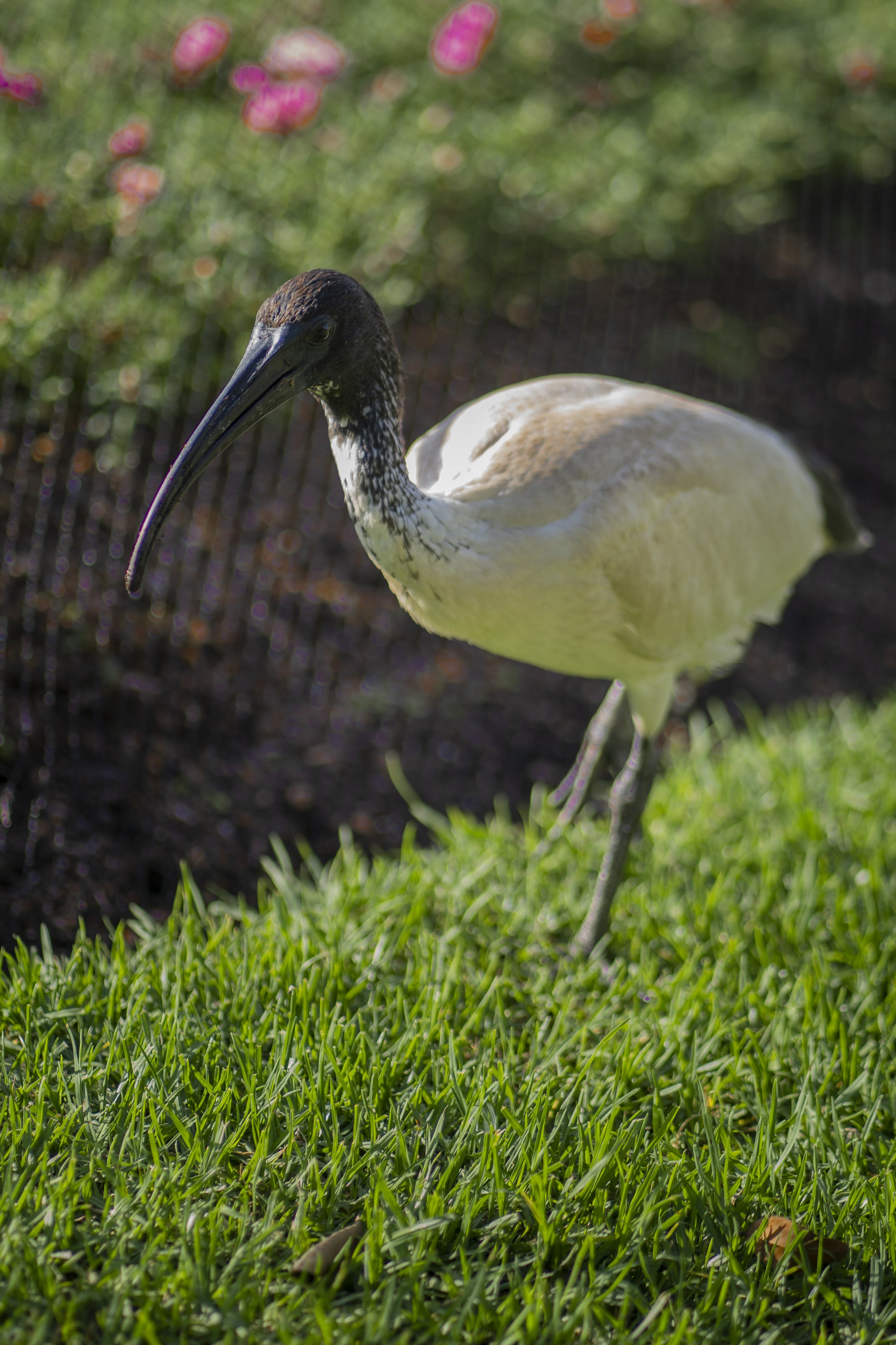 gras, ibis, natur
